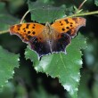 Stock Photo: Orange Butterfly On White Birch Leaf