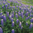 Stock Photo: Blue Bonnet Flowers