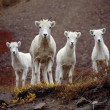 Four Dall Sheep — Stock Photo
