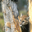 Stock Photo: Cougar Climbing Tree