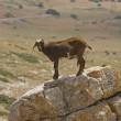 Stock Photo: Goat Standing On Rock
