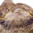 Stock Photo: Bearded Dragon Lizard