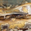 Stock Photo: Blood Python