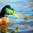 Stock Photo: Duck In Water
