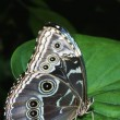 Blue Morpho Butterfly On Leaf — Stock Photo