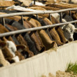 Stock Photo: Cattle Feeding From Trough