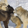 Stock Photo: Pack Of Wolves Interacting