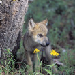 Stock Photo: Wolf Pup
