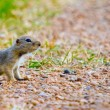 Stock Photo: Gopher Crossing Road Cautiously