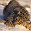 Snow Leopard Sleeping In Snow — Stock Photo #31711855