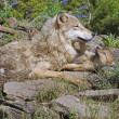 Wolf With Her Cub — Stock Photo #31711883
