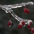Frozen Berries On Branch — Stock Photo