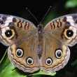 Stock Photo: Buckeye Butterfly With Eye Spots
