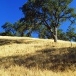 Stock Photo: Oak Trees On Hillside