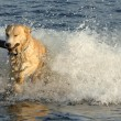 Stok fotoğraf: Dog Retrieves Stick