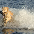 Foto de Stock  : Dog Retrieves Stick