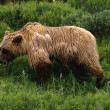 Stock Photo: Wet Grizzly Bear