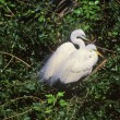 Great Egrets Breeding Pair — Stock Photo