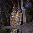 Stock Photo: Great Horned Owl At Night