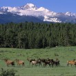Stock Photo: Elk Herd In Mountain Meadow
