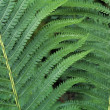 Stock Photo: Ostrich Fern