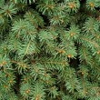 Closeup Of Evergreen Branches — Stock Photo #31712367