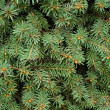 Stock Photo: Closeup Of Evergreen Branches