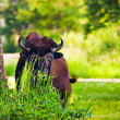 Stock Photo: Bison Hiding Behind Grasses