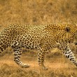 Stock Photo: Male Leopard