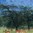 Herd Of Impala, Masai Mara National Reserve, Kenya — Stock Photo