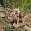 Wolf Cubs And Mother At Den Site — Stock Photo #31712723