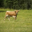 Stock Photo: Long Horn Cattle