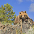 Grizzly Bear — Stock Photo #31712797