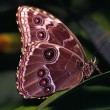 Blue Morpho Butterfly On Leaf — Stock Photo #31712821