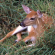 Baby Fawn Sitting In Grass — Stock Photo #31713083