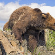 Stock Photo: Grizzly Bear Coming Over Ridge