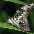 Stock Photo: Tailed Jay Butterfly Profile