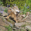 Wolf Cubs And Mother At Den Site — Stock Photo #31713209