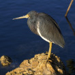 Tricolored Heron On Rock — Stock Photo