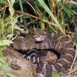 Eastern Diamondback Rattlesnake — Stock Photo #31713243