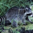 Raccoon — Stock Photo #31713251