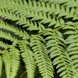 Fern Leaves — Stock fotografie #31713335
