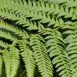 Fern Leaves — Foto de stock #31713335