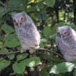 Two Fledgling Screech Owls — Stock Photo