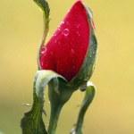 Rose Bud — Stock Photo