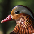 Stock Photo: Wood Duck
