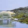 Polar Bear Running Out Of Water — Stock Photo