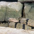 Stock Photo: Banded Rock Rattlesnake Coiled
