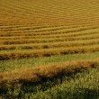 Rows Of Canola Windrows — Stock Photo