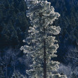 Stock Photo: Frost-Covered PonderosPine Tree In Jemez Mountains